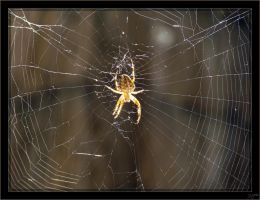 Araneus diadematus - 2 by J-Y-M