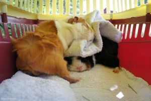 Sleeping guinea pigs by PoetOfDoubt