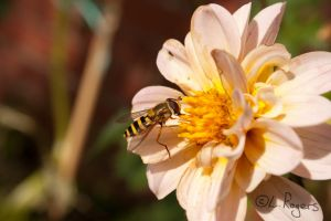 A Friendly Hoverfly by Narwalmilk