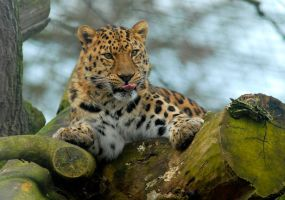 Amur Leopard6 by shaunthorpe