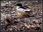 Male and Female Mergansers by DiSleXik2501