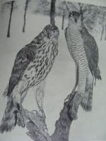 Old Taxidermy photo- Birds of Prey by Lot1rthylacine