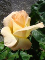 Yellow Rose VIII by EmmaL27