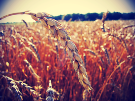 Summer Wheat by StormiePhotos