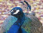 Pretty Peacock. by KimberleePhotography