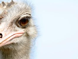 Ostrich by PenguinPhotography