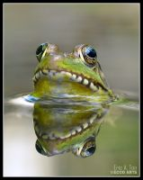 Frog Reflection by Eccoton