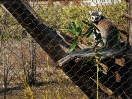 Lemur Hang Out by BengalTiger4