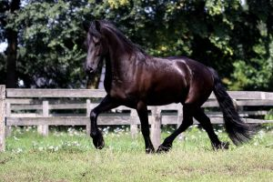 Friesian Horse I by Gamiani