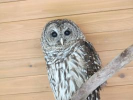 Hamlet the Barred Owl 3 by Windthin