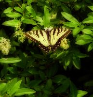 Tiger Swallowtail by SEnigmaticX