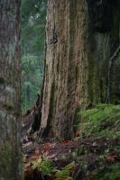 Old growth Forest Stock 5 by rustymermaid-stock