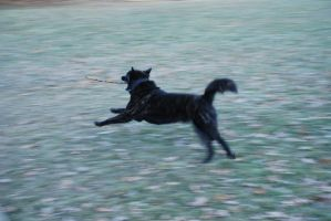 Black Dog Running Stock 3 by lee-mare
