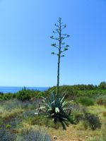 Istrian Vegetation II: Inflorescence of an Agave by Paul774