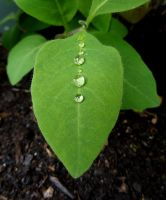 Water drops on leaves 14 by eco6org