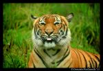 Tiger: Raspberry by TVD-Photography