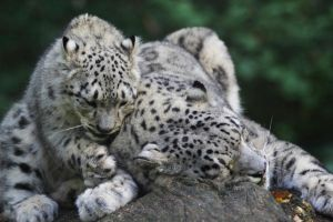 Snow leopard IV by Parides