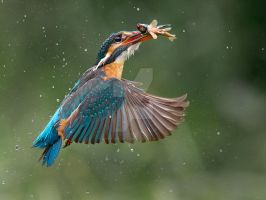 Gotcha - Common Kingfisher by Jamie-MacArthur