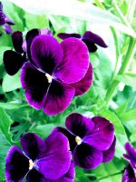 Violet Flowers by byOwl