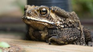 The Toad by FeleliS