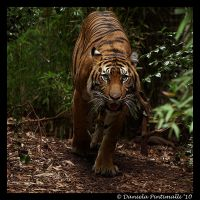 Tiger Approaching III by TVD-Photography