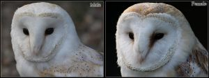 Barn Owls Male And Female by cycoze
