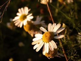 Daisies by alcyonist