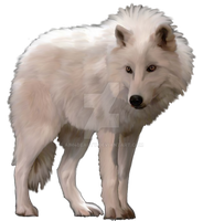White Artic Wolf by Aim4Beauty