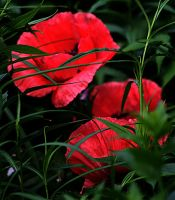 Two Red Poppies hidden by Jasmin-jewel