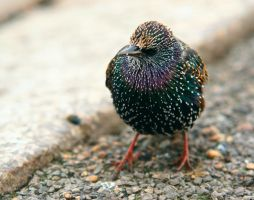 Starling by KerenGoldian