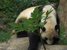 Panda 1-National Zoo D.C. by ForeverASickKid