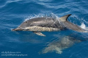 Common dolphins at the surface by Shadow-and-Flame-86