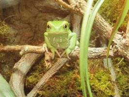 Frog by AnnabellaTMIID