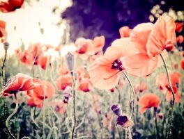 dreamy poppies by Lethiel