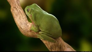 tree frog by Doctor-Frog