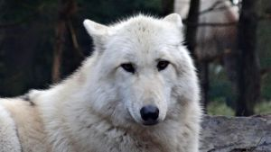 White Grey Wolf II by Track-Maidens