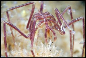 Sea spider by half-scientific