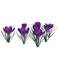 Purple Crocus by TexelGirl-Stock