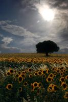 Sunflowers by allquiet
