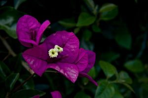 Bougainvillea Purple 2 by Applemac12