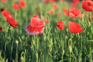 morning poppies by an0xx