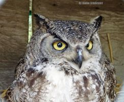 Great Horned Owl by AlainaLee