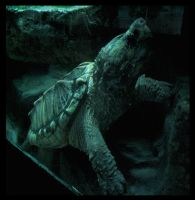 Alligator Snapping Turtle II by Virdilak