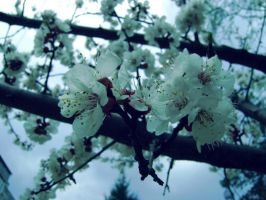 Cherry Blossom. =^w^= by Diannnaa