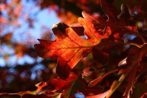 Red Leafage by Anachronist84