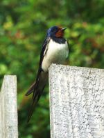 Barn Swallow by insolitus-mundus