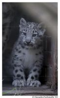 Baby Snow Leopard by TVD-Photography