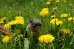 Tiny Tim in the Dandelions by shinigamisgem