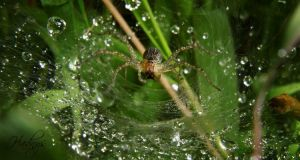 water collector spider by hdnyz97