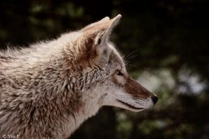 Coyote profile 2 by Yair-Leibovich